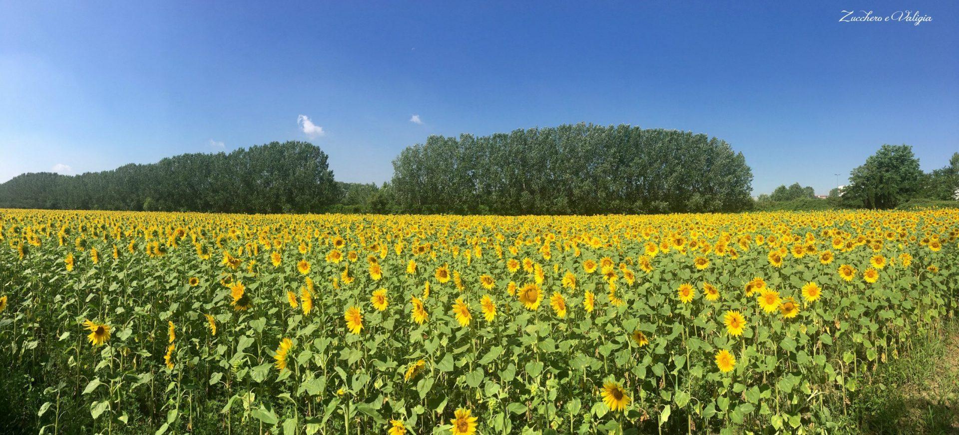 un campo di girasoli a Milano