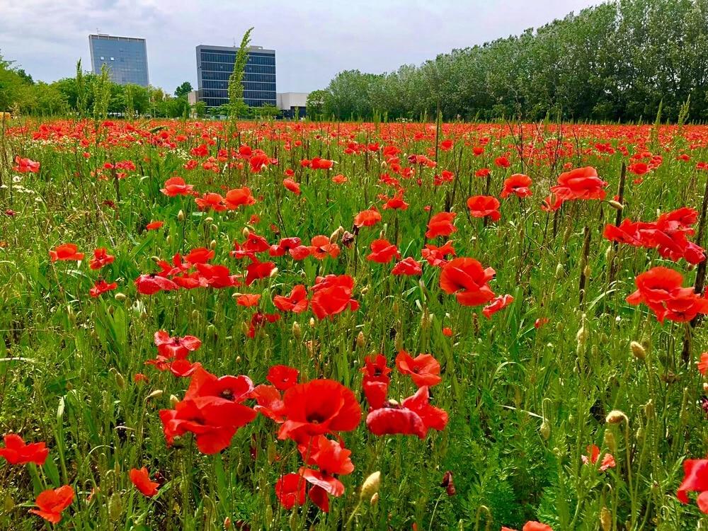 Un campo di papaveri a Milano - uscita Tangenziale Est Rubattino