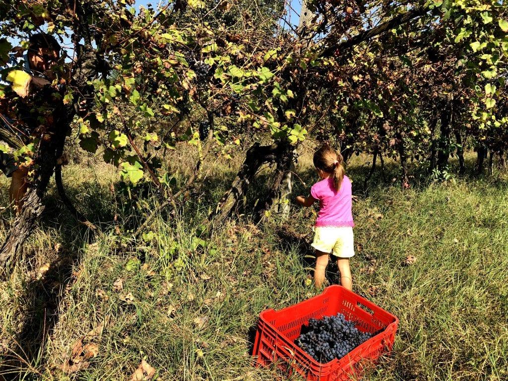 Vendemmia con i bambini - Movimento del Turismo del Vino Lombardia